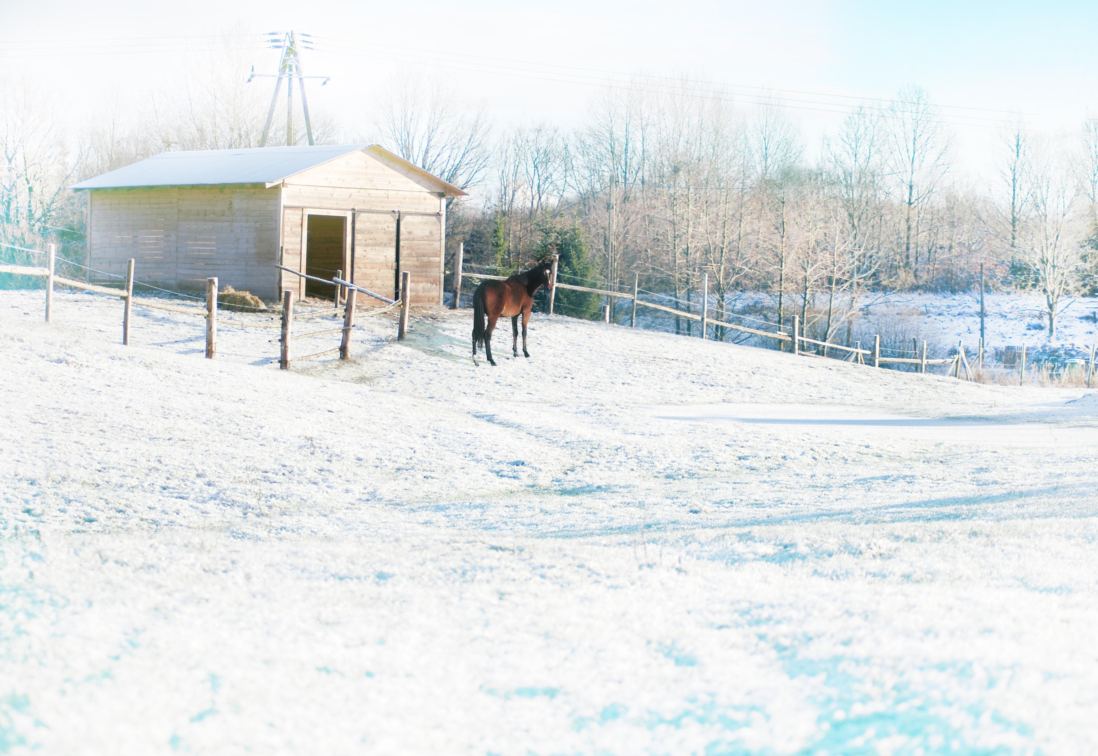 konie - żywieni zimą